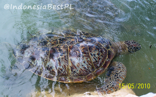 IndonesiaBestPL_Giant_Turtle_800x600